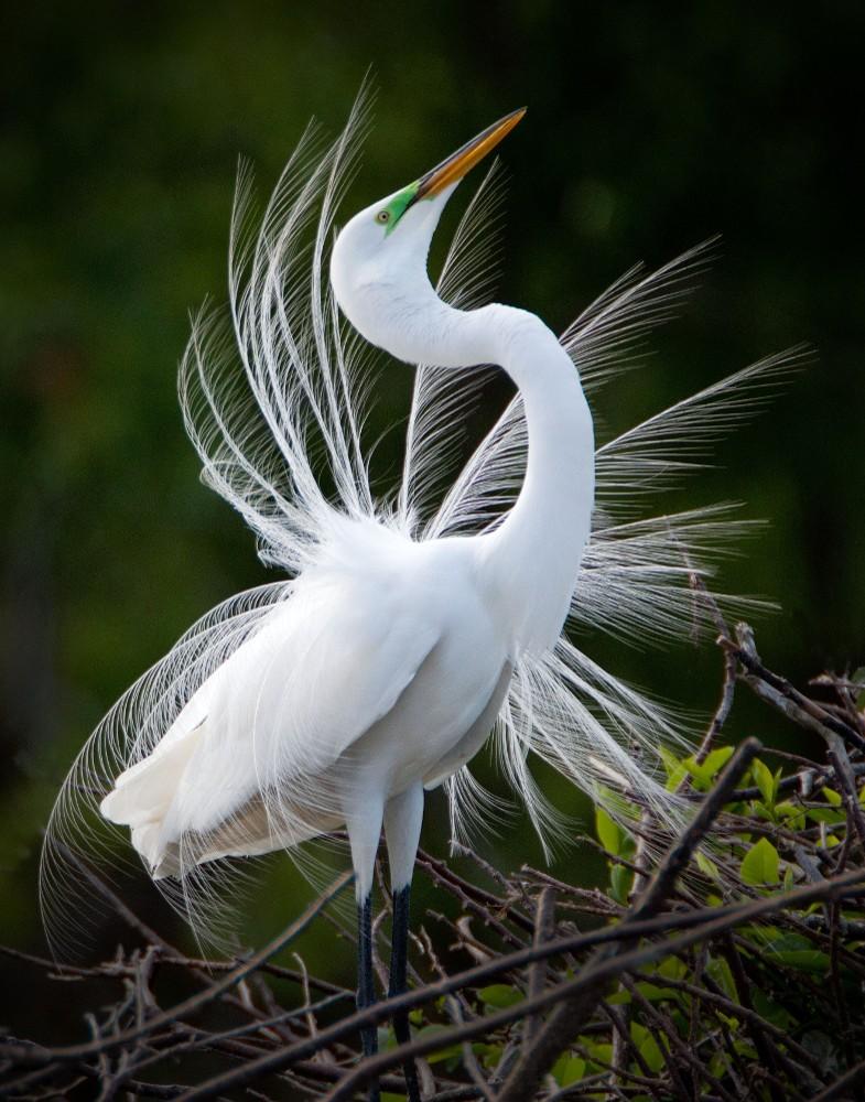 Showy Egret, FL